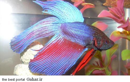 عکس ماهی جنگجو, جدید 1400 -گهر