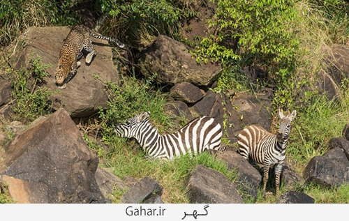 goorekhar 4 تصاویر ناراحت کننده از شکار گورخر توسط کروکودیل و پلنگ