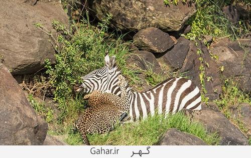 goorekhar 5 تصاویر ناراحت کننده از شکار گورخر توسط کروکودیل و پلنگ