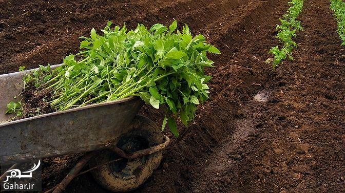 619192 Gahar ir روش کاشت گوجه فرنگی در زمین ، چطور نشا گوجه بکاریم؟