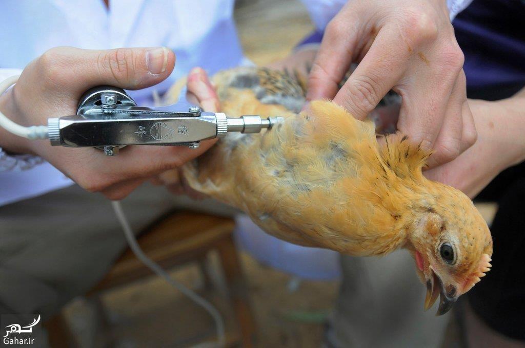 درمان قطعی نیوکاسل مرغ, جدید 1400 -گهر