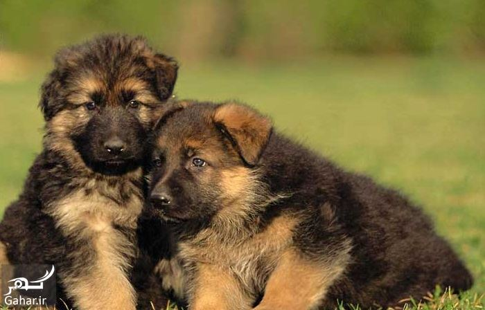 433329 Gahar ir مشخصات سگ ژرمن شپرد اصیل