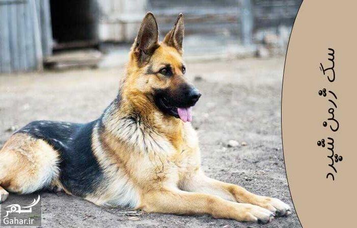 844766 Gahar ir مشخصات سگ ژرمن شپرد اصیل