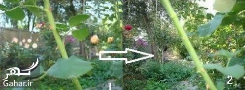 روش قلمه زدن گل رز + آموزش تصویری, جدید 1400 -گهر