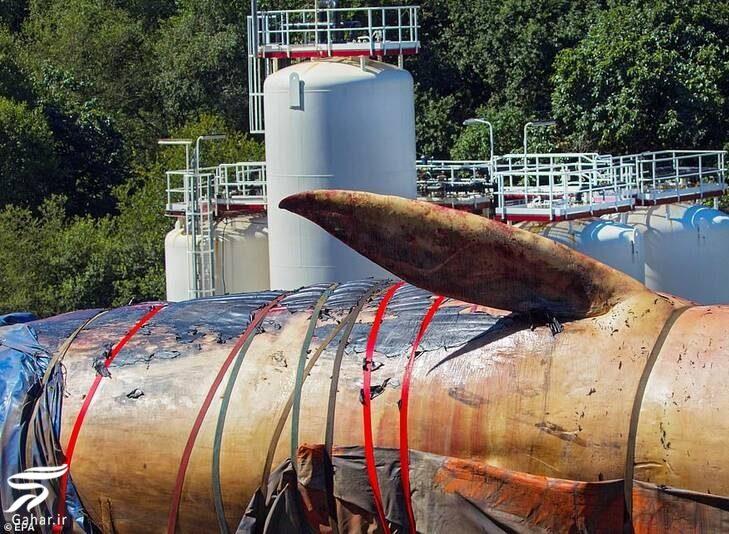 نهنگ ۷۵ تنی در اسپانیا بالاخره از آب بیرون کشیده شد!, جدید 1400 -گهر
