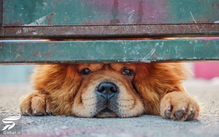 023170 Gahar ir معرفی و مشخصات سگ چاوچاو