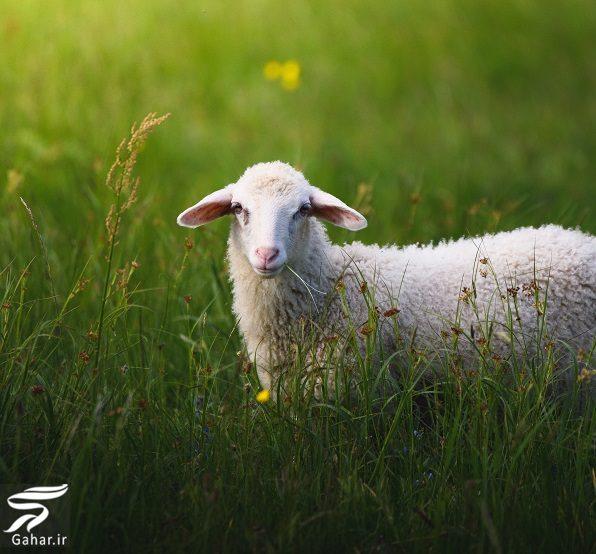 167296 Gahar ir تفاوت خواص شیر گاو، بز و گوسفند در چیست؟