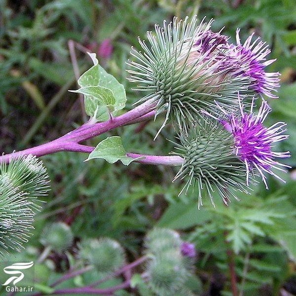 995629 Gahar ir معرفی گیاهانی برای از بین بردن عفونت های بدن