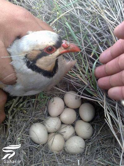 093143 Gahar ir مهمترین خواص تخم پرندگان را بدانید