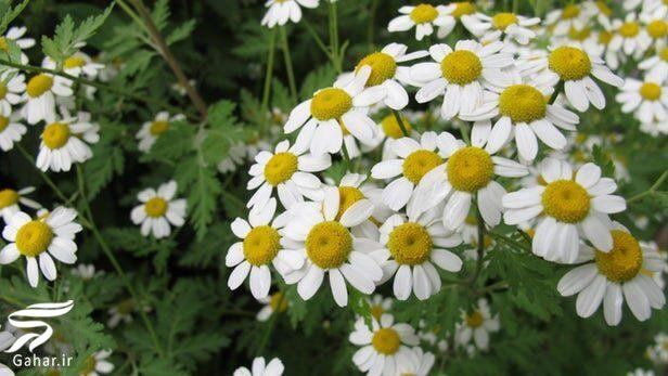 034502 Gahar ir معرفی گیاهان مناسب برای بخور دادن صورت