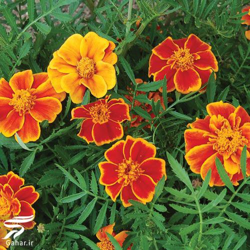 804616 Gahar ir معرفی گیاهان مناسب برای بخور دادن صورت